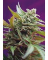 Black Jack Auto - Sweet Seeds